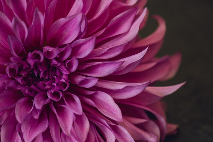 up close view of a magenta dahlia