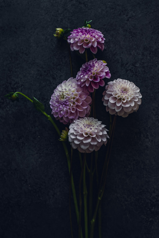 purple and white ball dahlias