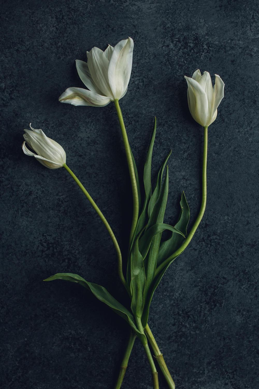 trio of white tulips