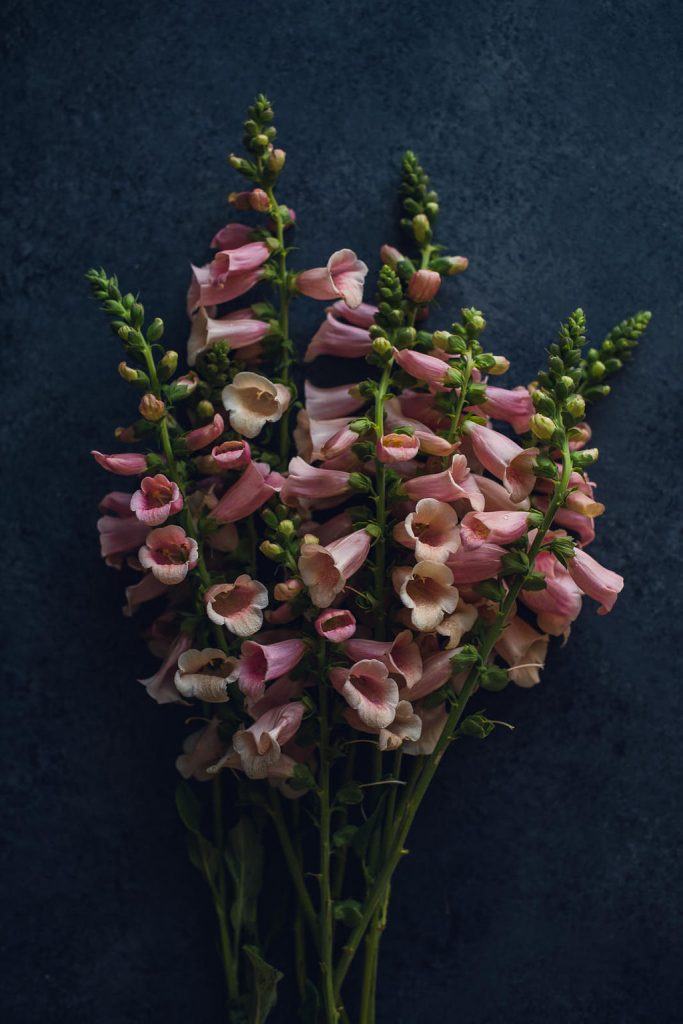 large bunch of pink foxglove laying on a dark background