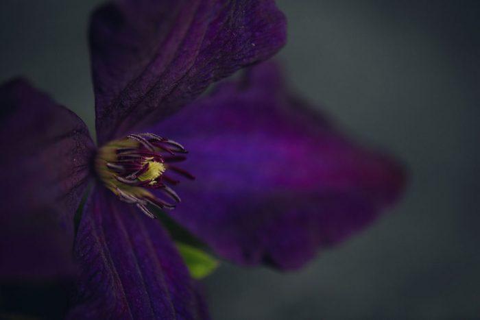 center of a deep purple clematis