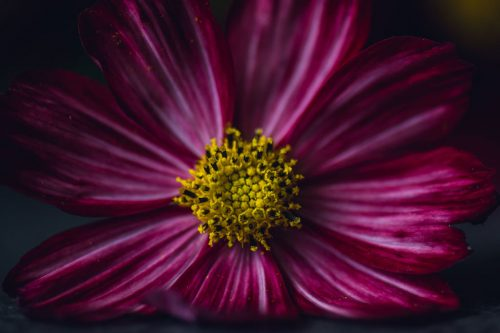striped pink cosmos with yellow center