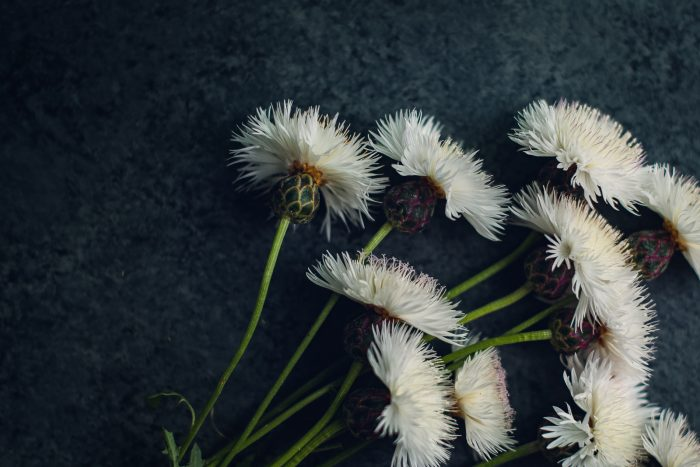 bunch of white thistles laid on a dark background