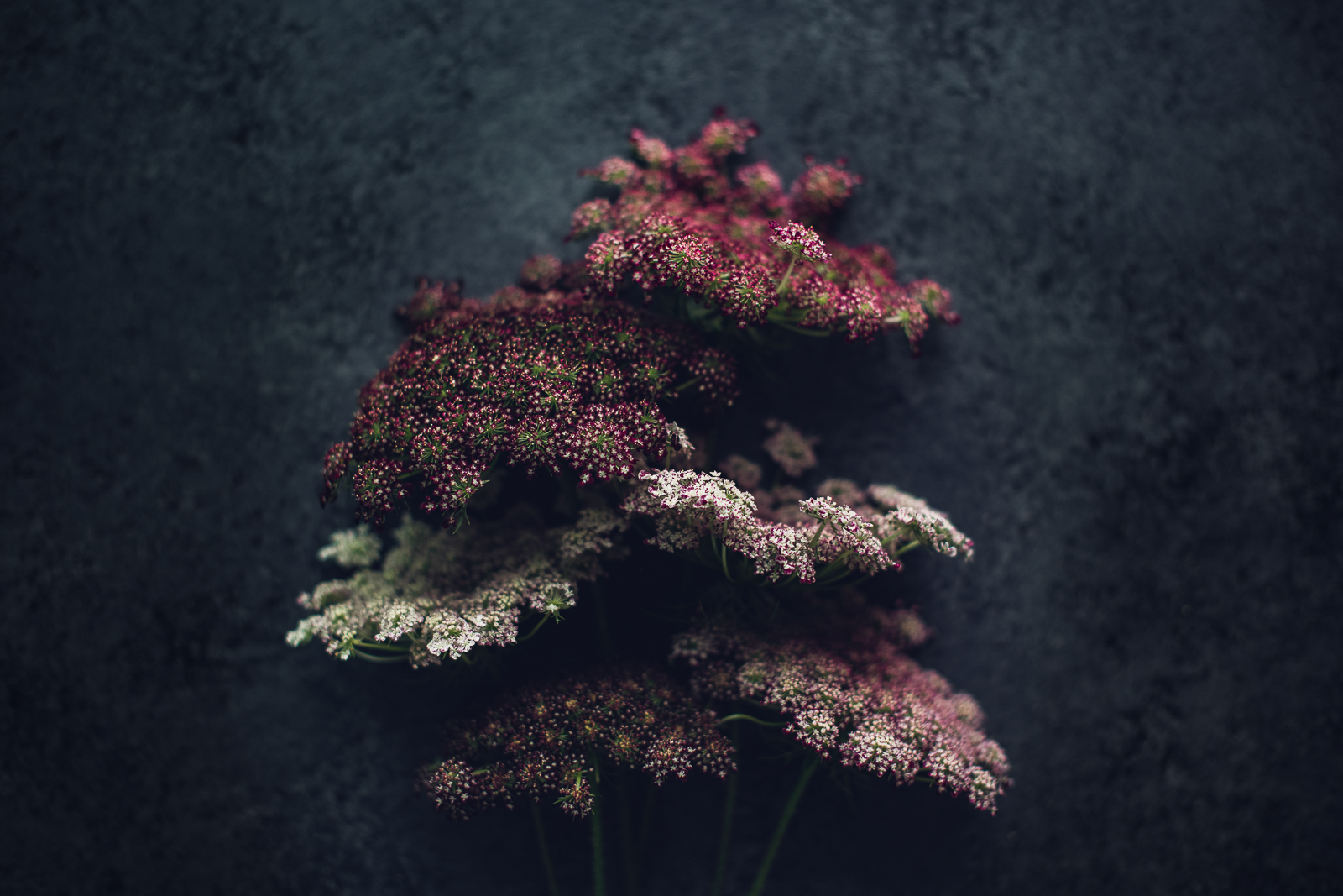 bunch of chocolate queen anne's lace