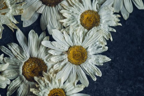 pressed daisies laid on a dark background