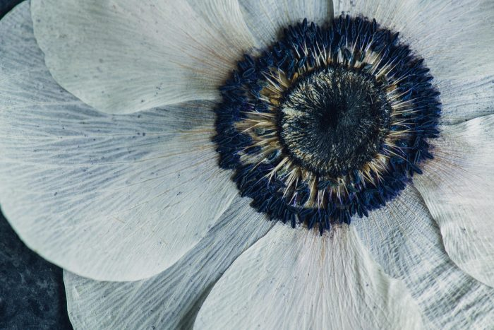 up close view of a pressed anemone flower with deep blue center
