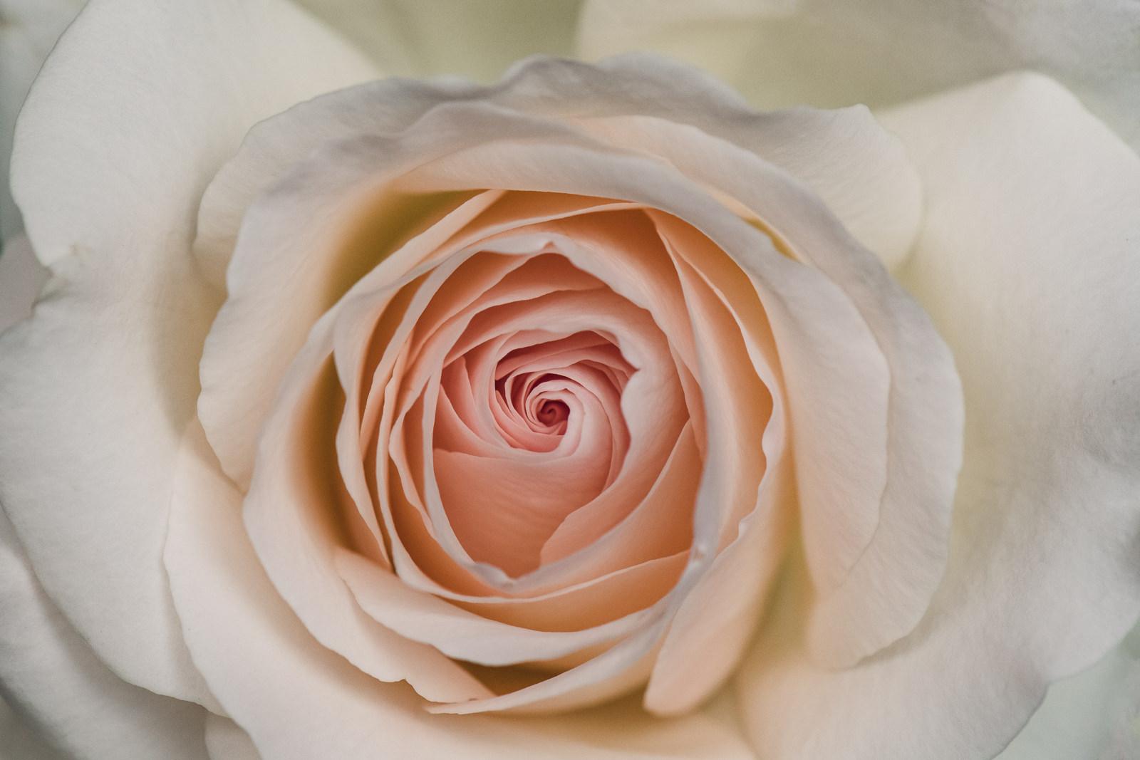 up close detail of a pale peach rose