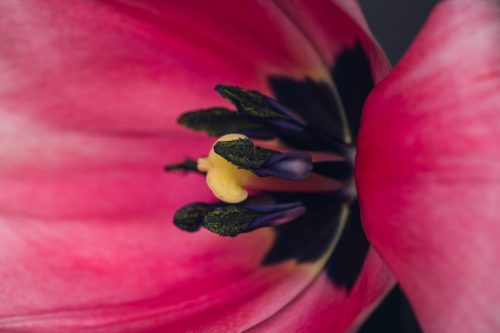side view of the center of a bright pink tulip