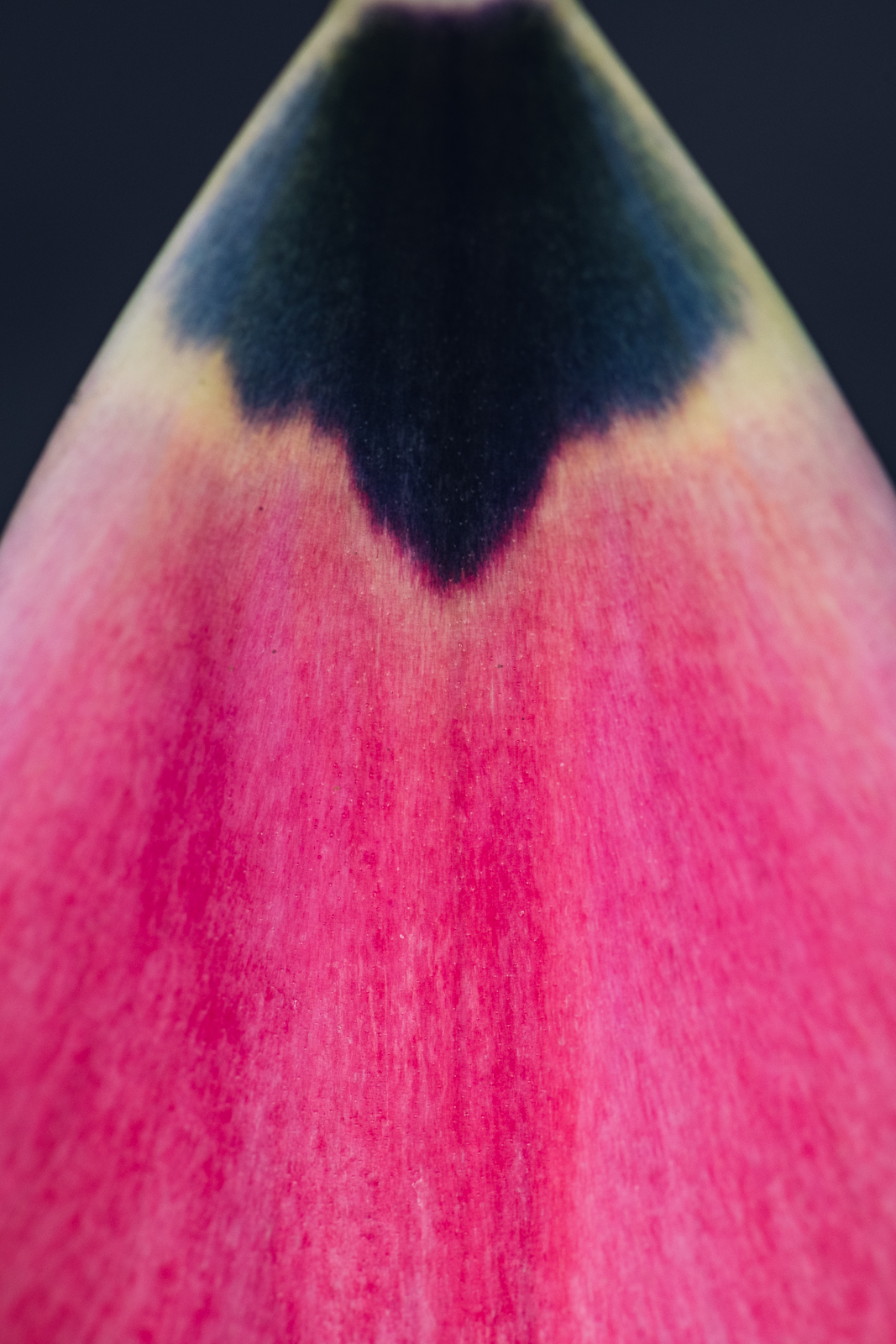 single hot pink petal from a tulip